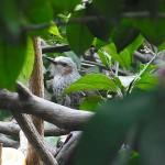 野鳥 ヒヨドリ
