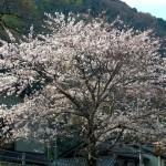 市振海岸の桜