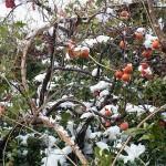雪中のカキ