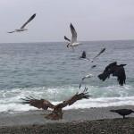 エサに群がる野鳥 市振
