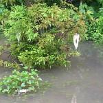 モリアオガエル卵塊 青海川