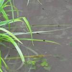 モリアオガエルのオタマジャクシ