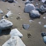 カモシカ?の足跡 青海川