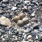 コチドリの卵 須沢海岸