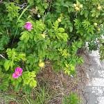 ハマナスの花と果実 須沢