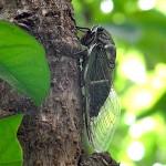 タラの木に留るクマゼミ