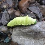 ウスタビガの幼虫 小滝川