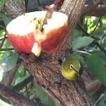 リンゴを食べるメジロ 我が家