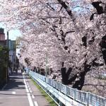 山崎川の桜 H26.3.31