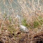 アオサギ 平野池 名古屋市野鳥生息状況調査