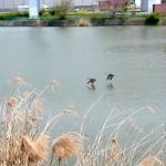 カルガモ 平野池 名古屋市野鳥生息状況調査