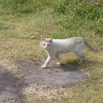 野良猫♂ 氷上姉子神社 野鳥生息状況調査