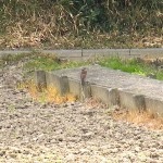 ツグミ 氷上姉子神社 野鳥生息状況調査