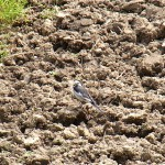 ハクセキレイ 氷上姉子神社 野鳥生息状況調査