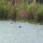 カイツブリ 平野池 氷上姉子神社野鳥生息状況調査