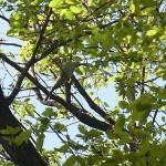 サンショウクイ 氷上姉子神社野鳥生息状況調査