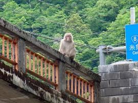 橋の上のサル 小滝川