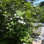 ヤブテマリ 青海川