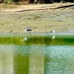 左 ・アオサギ 右 ・コサギ 平野池