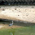 アオサギ 平野池