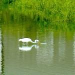 ダイサギ 平野池