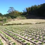 白菜の苗 近くの畑