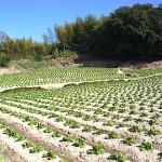 白菜 近くの畑