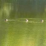カイツブリ 平野池