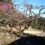 柿の木 近くの畑 氷上姉御神社