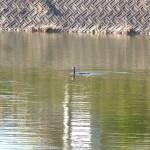 カワウ 平野池