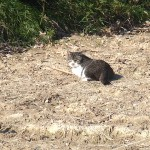 トラ猫 近くの畑