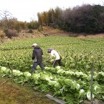 近くの畑 白菜の収穫