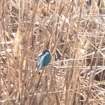 カワセミ 平野池