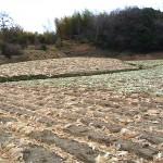 収穫後の白菜畑