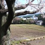 大高斎田の桜