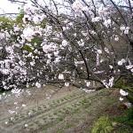 桃の花 近くの畑