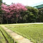 梅の花 大高斎田