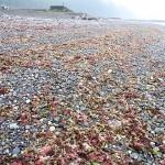 海藻 市振海岸
