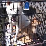 北海道犬 翡翠市