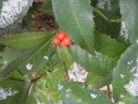 センリョウの赤い実