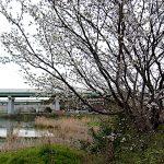 名古屋市野鳥生息調査 14 2020.3.30